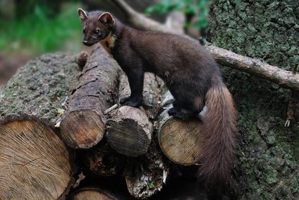 Gefahren für Eichhörnchen - Baummarder