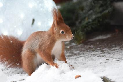 Eichhörnchen im Winter bei der Futtersuche